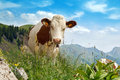 Cow pastures on green lush meadow Royalty Free Stock Photo