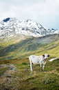 Cow pasturing in the mountains Royalty Free Stock Photo