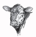 Cow pencil drawing Royalty Free Stock Photo