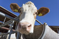 Cow portrait against blue sky bavaria germany Royalty Free Stock Image
