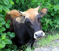Cow posing on green leaves background Stock Photo