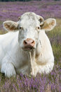 Cow in purple landscape Royalty Free Stock Photography