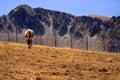 Cow pyrenees Стоковые Изображения