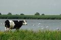 Cow relaxing near the waterside Royalty Free Stock Photo