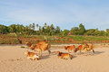 Cow relaxing on sand near riverbank by the Mekong River in Laos Royalty Free Stock Photo