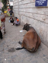 Cow relaxing on the street of Kolkata Royalty Free Stock Photo