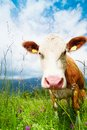 Cow s snout closeup of beautiful brown on the field looking at camera Royalty Free Stock Photo
