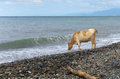 Cow and the sea