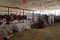 Cow show Royalty Free Stock Photo