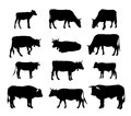 Cow silhouette - graphic vector silhouettes of cows, bull and calf Royalty Free Stock Photo