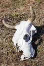 The cow skull Stock Photo
