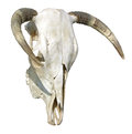 Cow Skull Stock Photo