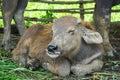 Cow smile Royalty Free Stock Photo
