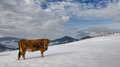 Cow on the snow at the top of mountain under clouds Royalty Free Stock Image