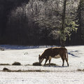 Cow on the snow in winter forest Royalty Free Stock Image
