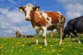 Cow son a summer pasture Royalty Free Stock Image
