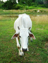 Cow standing alone in green pasture Royalty Free Stock Photo