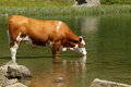 Cow standing in the lake Royalty Free Stock Photo