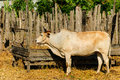 A cow is standing in a stall Royalty Free Stock Photos