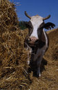 Cow standing in a stall pen sunny summer day Stock Photography