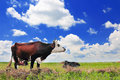 Cow on a summer pasture the blue sky background Royalty Free Stock Photography