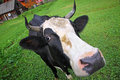 Cow on a summer pasture in carpathian village Royalty Free Stock Photography