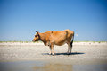 Cow sunbathing brown on the beach near the black sea romania Stock Photo