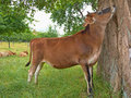 Cow, tree kissing Royalty Free Stock Photo