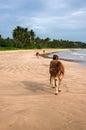 Cow walk a sunbathe on the sea beach Royalty Free Stock Photo