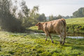 Cow walking in dewy grass Royalty Free Stock Photo