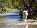 Cow walking in nature Royalty Free Stock Photo
