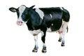 Cow on white background. Royalty Free Stock Photo