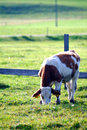 Cow on the willow Royalty Free Stock Photography