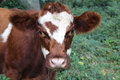 Cow in wooded area brown and white Royalty Free Stock Photography