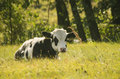 Cow youngster Royalty Free Stock Photo