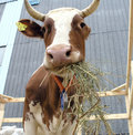 Cow2 Royalty Free Stock Photo