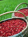 Cowberries fresh in wicker pick at the forest Royalty Free Stock Photos
