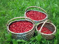 Cowberries fresh in wicker pick at the forest Stock Image