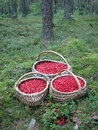 Cowberries three wicker with pick in forest Royalty Free Stock Image