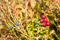 Cowberry and blueberries ripe red close up Stock Photography