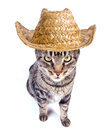 Cowboy cat tabby on white background Royalty Free Stock Images