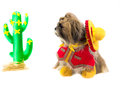 Cowboy dog a shih tzu dressed as a gaucho gazes at a cactus Stock Images