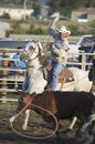 Cowboy lassoing cow at PRCA Rodeo Royalty Free Stock Image