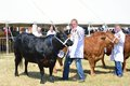 Cows in agricultural show Tendring Essex Royalty Free Stock Photo