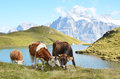 Cows in an Alpine meadow Royalty Free Stock Photography
