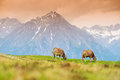 Cows in an alpine meadow Stock Image