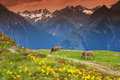 Cows in an alpine meadow Stock Photos