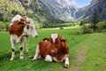 Cows on the Alpine mountain pasture Stock Photography