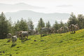 Cows on alpine pastures eating grass Royalty Free Stock Photography
