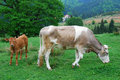 Cows (animal husbandry in Romania) Royalty Free Stock Photography